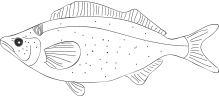 Fish  (poisson)